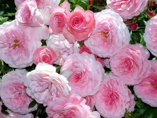 роза 82